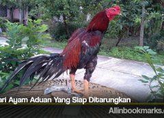 Ciri Dari Ayam Aduan Yang Siap Ditarungkan